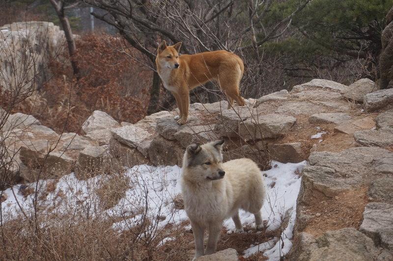 Stray dogs near Munsubong Peak.
