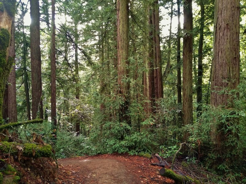 The mixed redwood forest of Rock Springs Trail as it heads south down into the valley.