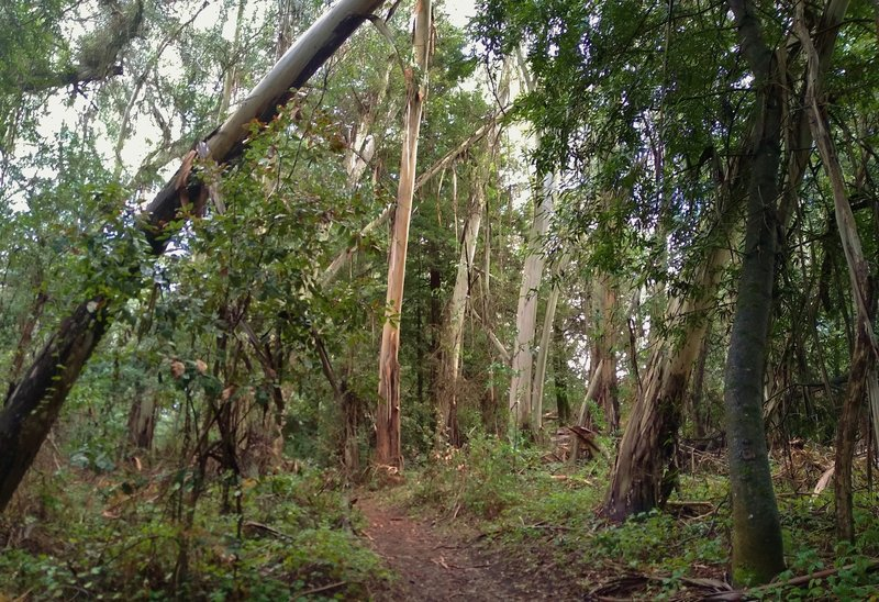 Eucalyptus trees with their light colored shaggy bark, are mixed in with others at the east end of Sprig Trail.