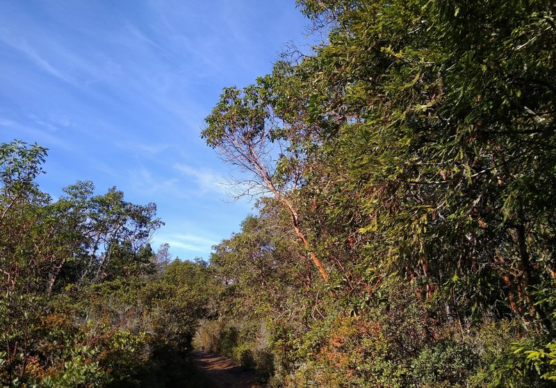Manzanita trees with their smooth orange limbs, are found with the brush, in a high open stretch of Sprig Trail.