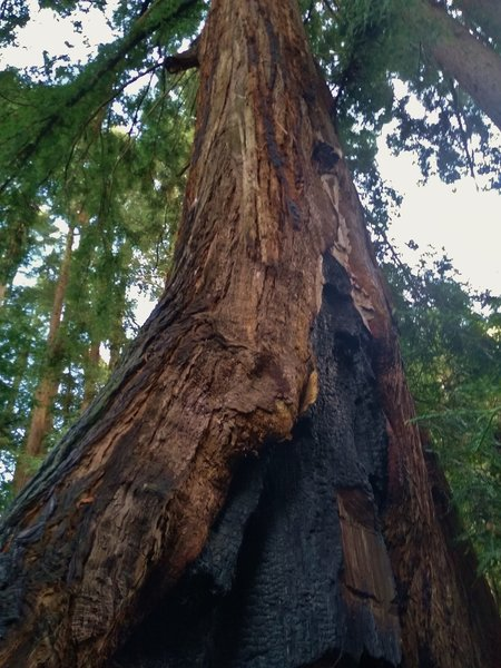 A big, old redwood is still going strong after having been charred by historic wildfire.