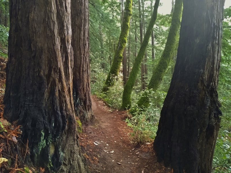 Green moss covered trees and redwoods along Sprig Trail in the winter.