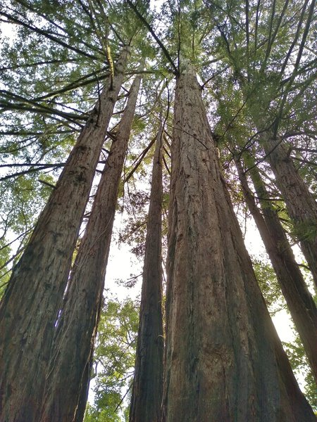 Towering redwoods along Ridge Trail.