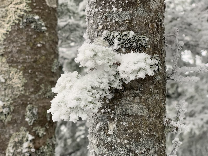 Beautiful rime ice on lichen at the summit.