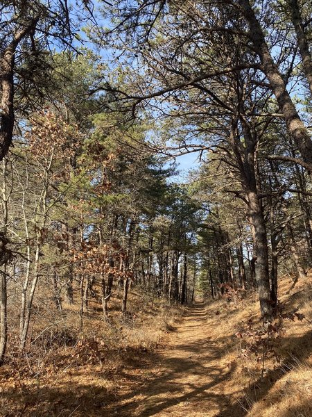 Trail through pine tree grove
