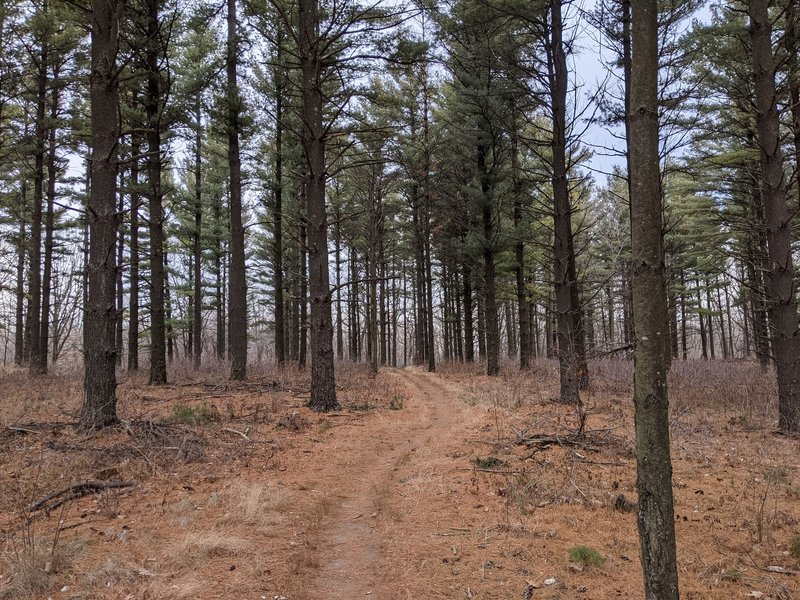 One of the many pine forests.