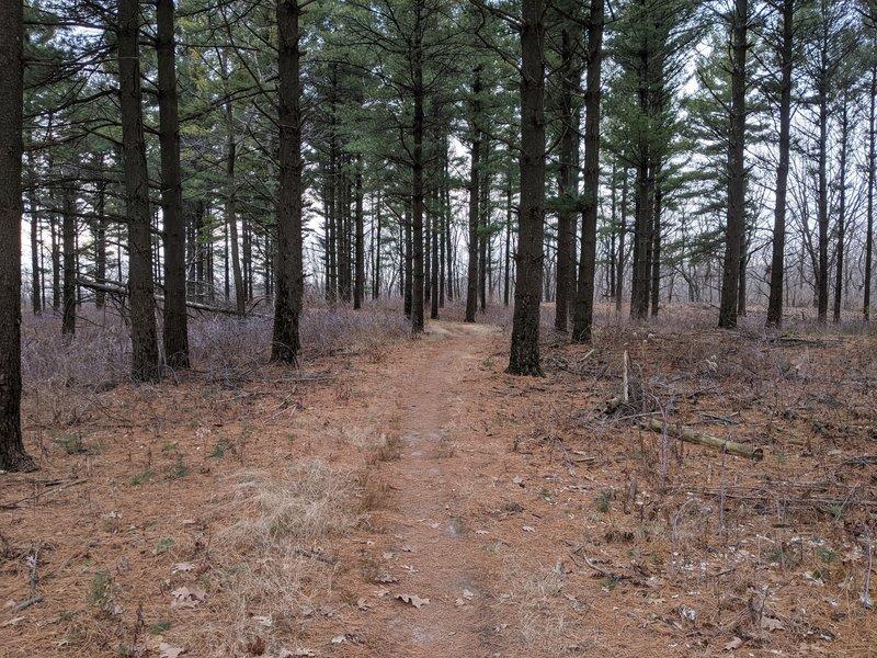 Awesome pine plantation