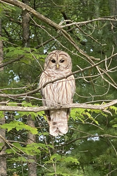 Owl perching in tree just off Lost Lake Pathway - Lake Dubonnet Summer 2020