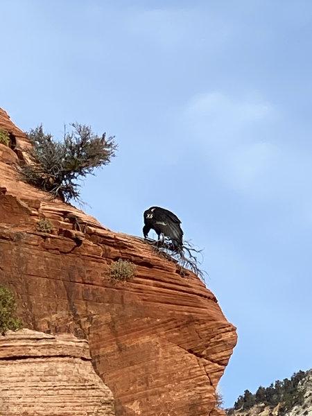El condor Pasa. Was lucky enough to see his graceful landing.