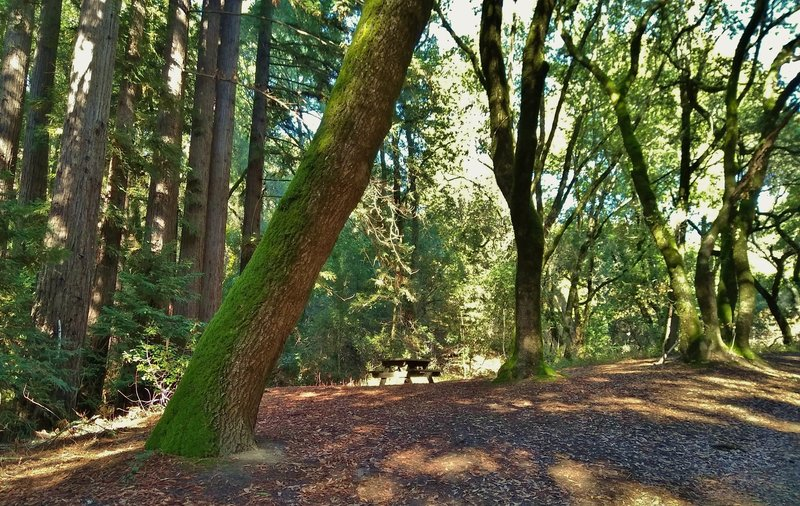 A creekside picnic table among the sunlit redwoods and oaks along Merry-Go-Round Trail.