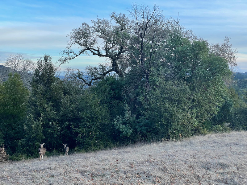 Deer feed along the edge of the woods in the fields in Monte Bello Open Space Preserve.