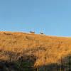 Deer feeding in the fields above the Bella Vista Trail.