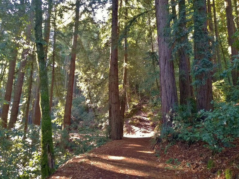 Loop Trail winds through redwoods, and other trees and vegetation, on its soft needle covered path.