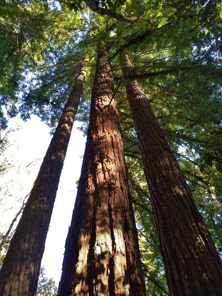Towering redwoods along Loop Trail.