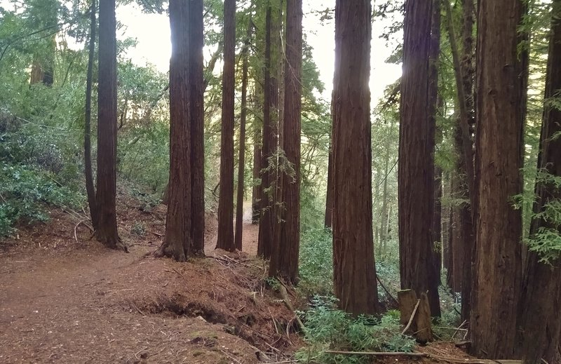 Redwoods along a forested stretch of Tie Camp Trail.