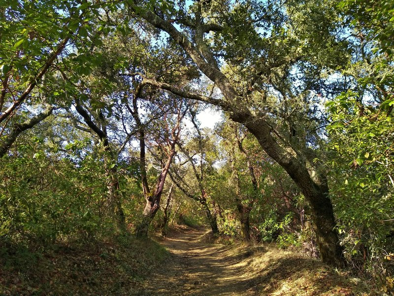 A stretch of beautiful sunlit oaks offering shade on Tie Camp Trail.