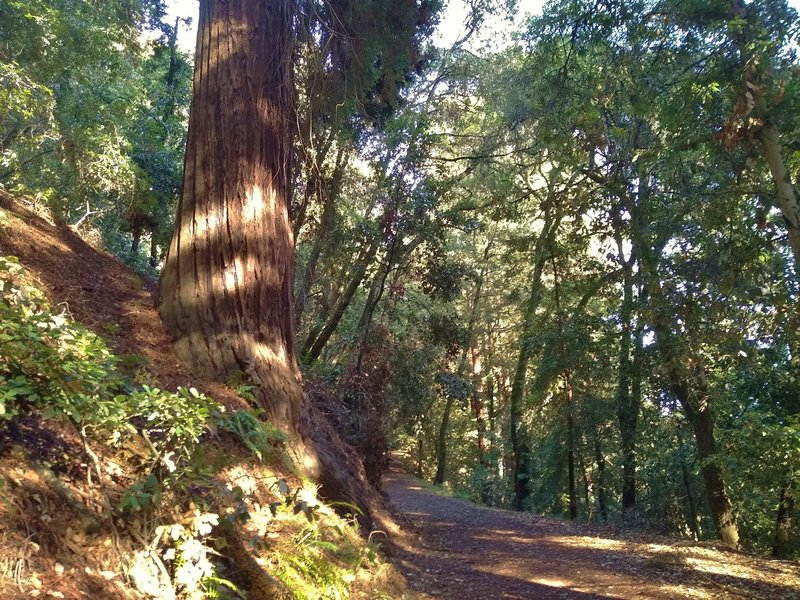 This is a HUGE redwood, must be over eight feet across. Its roots are exposed on the trail side, but its still standing tall and straight, amazing.