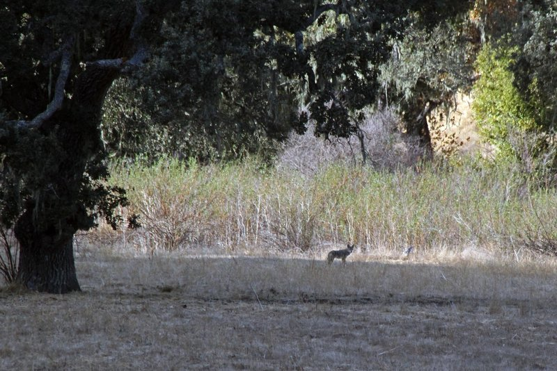A Coyote watches me approach and quickly runs off. It is common to see Bobcats and Coyote, Rabbits, and Quail along this trail, if there are few bikers, hikers and horses about.