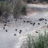Quail flocks gather to feed under an oak tree in the fall. Acorns have fallen and hikers have crushed some as they walked.