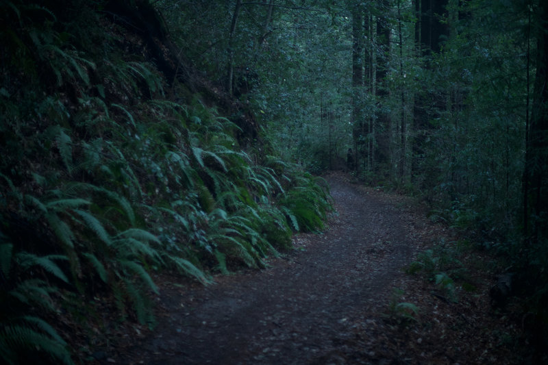 Ferns line the trail in the early morning.