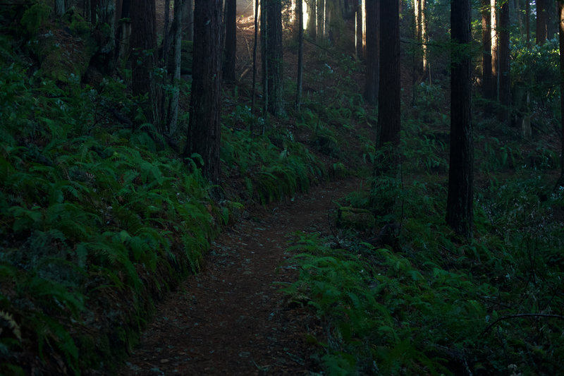 The Bald Knob trail is a singletrack dirt trail lined with ferns as it moves away from the Borden Hatch Mill Trail.