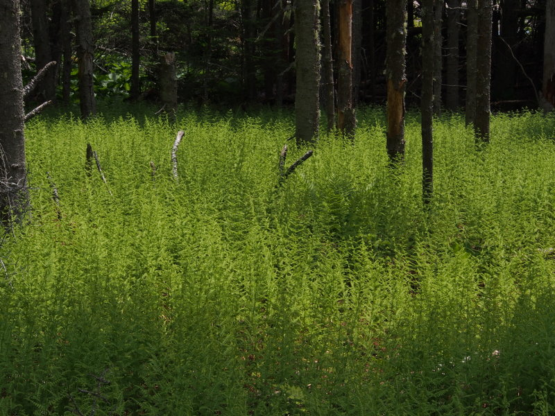 Large fern patch
