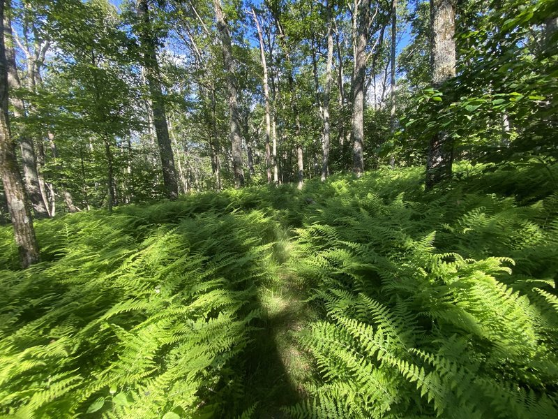 War Spur Trail surrounded by large ferns.