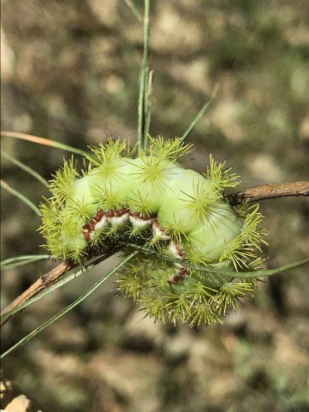 IO Moth Caterpillar.