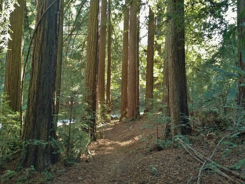 East Bayview Trail travels through the redwood forest of Mt. Madonna County Park, with the park road close by.