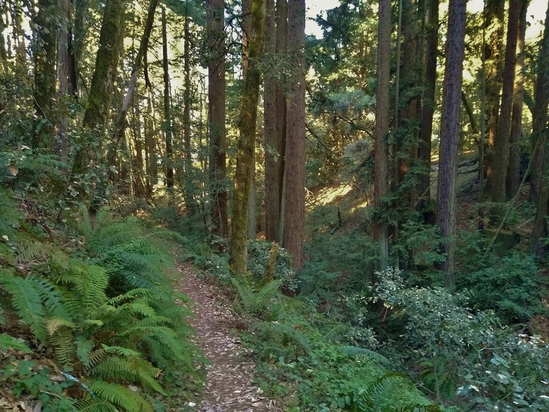 Redwoods and beautiful ferns in the lush undergrowth along East Bayview Trail. A seasonal stream runs in the steep sided valley to the right of the trail.