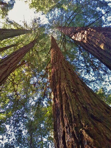 Very TALL, stately redwoods reach to the sky on a sunny January day in the Santa Cruz Mountains.