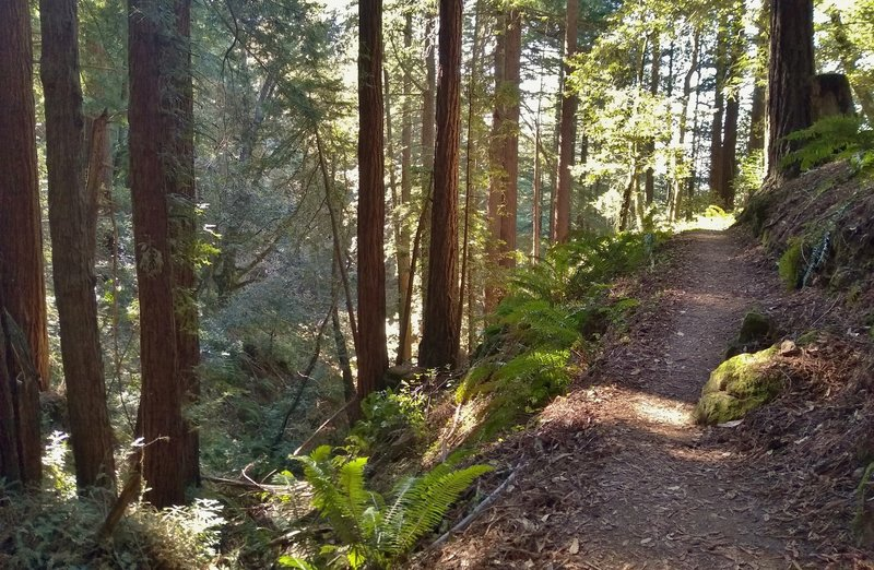 A lush, steep sided seasonal stream valley complete with beautiful ferns, is to the left of Bayview Trail here in the redwood forest.