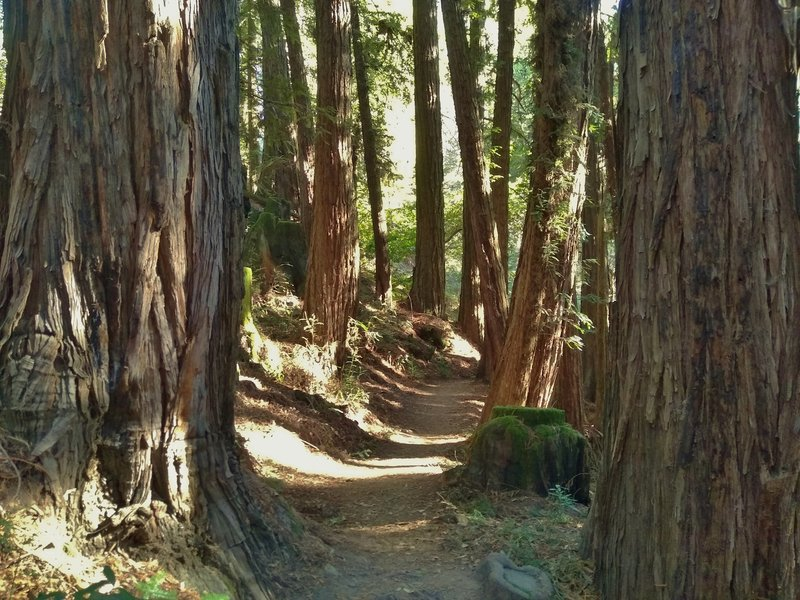 Redwoods crowd around Bayview Trail here.