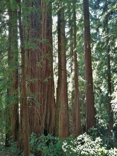 A giant redwood among smaller redwoods, seen along Redwood Trail.
