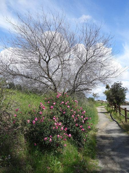 Fading desert five-spots (Eremalche rotundifolia) along the Del Mar Mesa Equestrian trail.