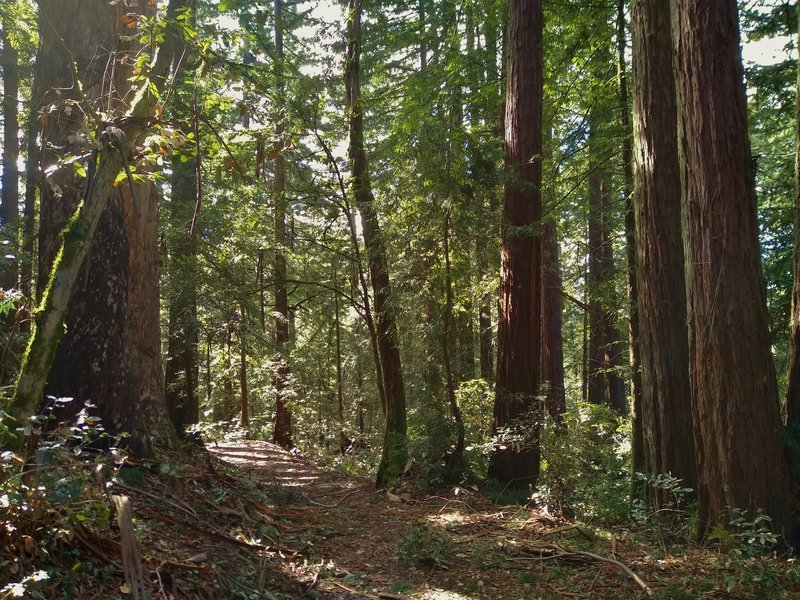 Pretty, mixed redwood forest along Tan Oak Trail in Mt. Madonna County Park, on a sunny January day.