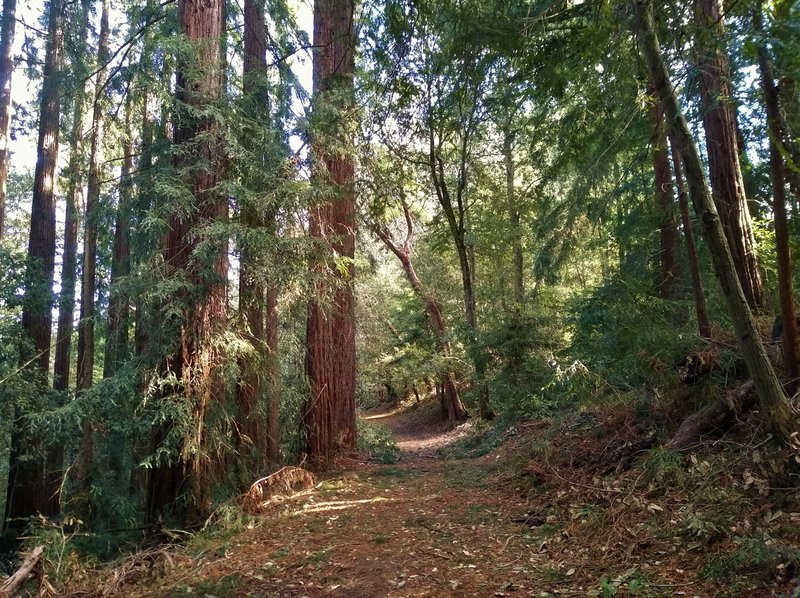 Sunlight filters through the redwoods along Tan Oak Trail in the hilly, dense mixed redwood forest.