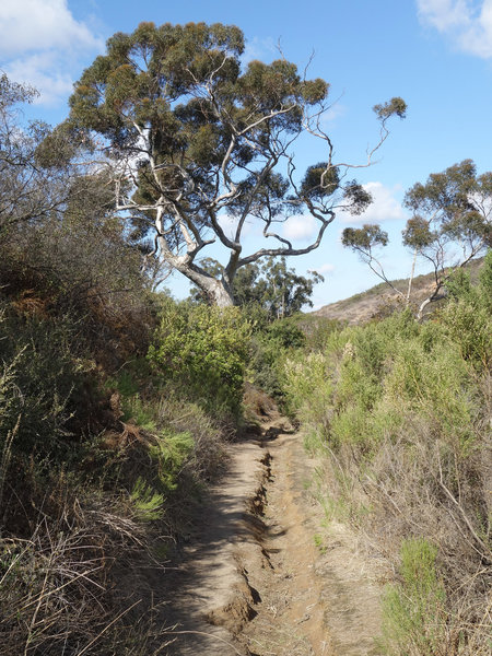 Winter rains carve a trench in the Shaw Valley Trail.