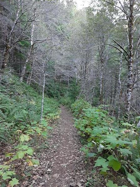 A dirt trail goes through the forest, bordered by alders and thimbleberry bushes.