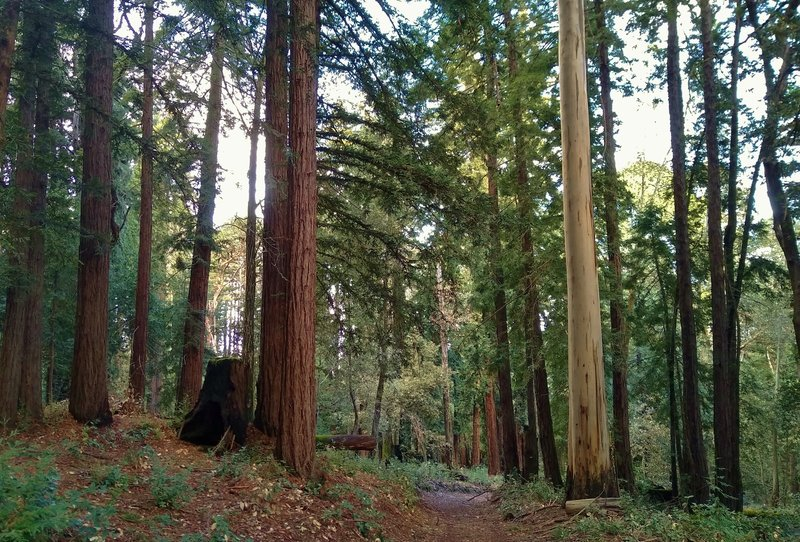 Tall, stately redwood on the left and eucalyptus on the right, as Loop Trail Cut Off passes between them.