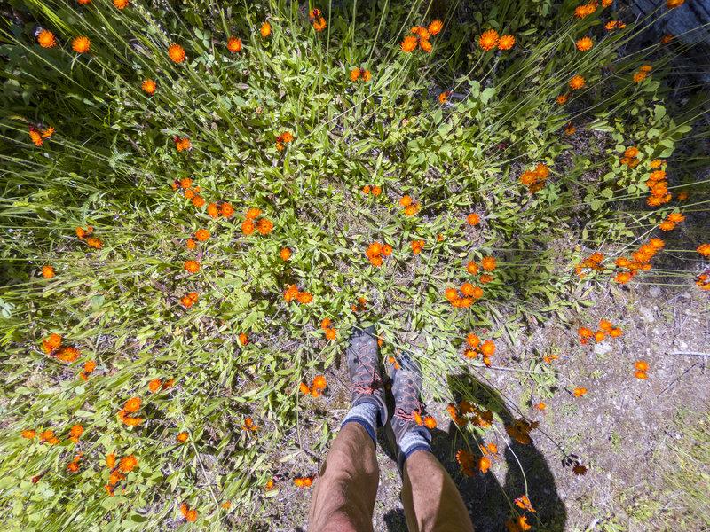 Wildflowers bloom along the Okanagan High Rim Trail in mid-July.
