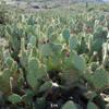 "Backlit field of ""farmed"" cactus along the Raptor Ridge Trail."