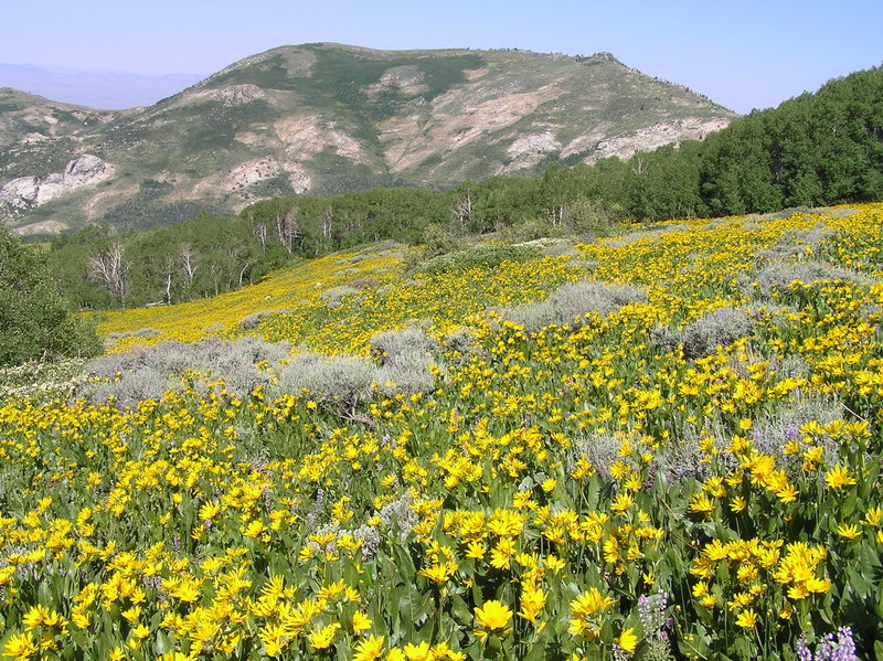 Flowers on trail just outside Green Mtn trailhead (southern edge of Ruby Crest trail)