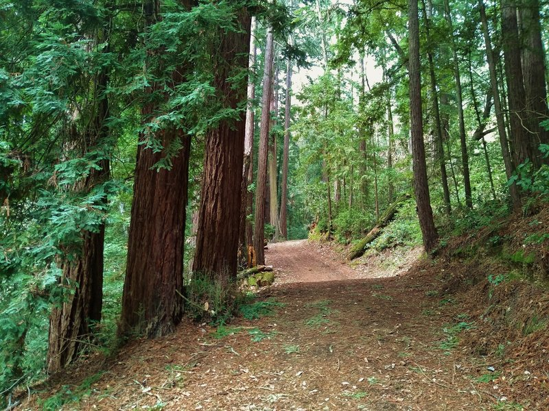Upper Miller Trail runs through the redwoods on its way to the picnic areas in the center of Mt.Madonna County Park.