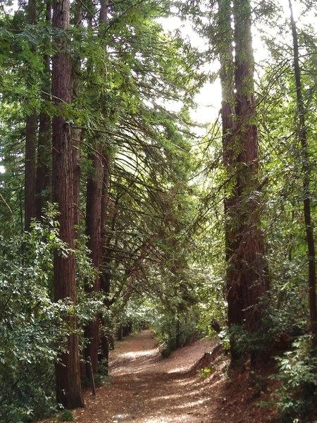 Through the redwoods high on Mt. Madonna, runs Lower Miller Trail.