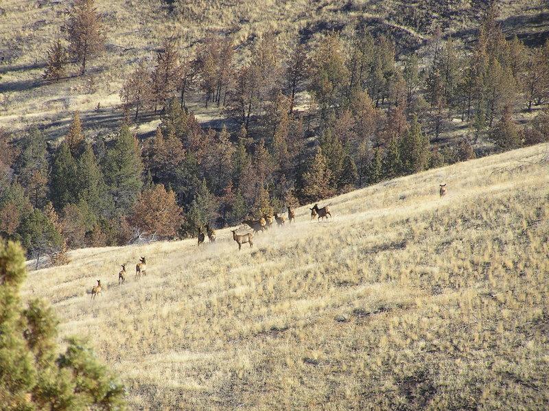 Elk herd viewed east of Horse Mountain (11-08-2018)