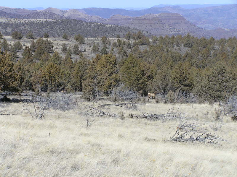 Elk along Sutton Mountain trail (03-03-2021)