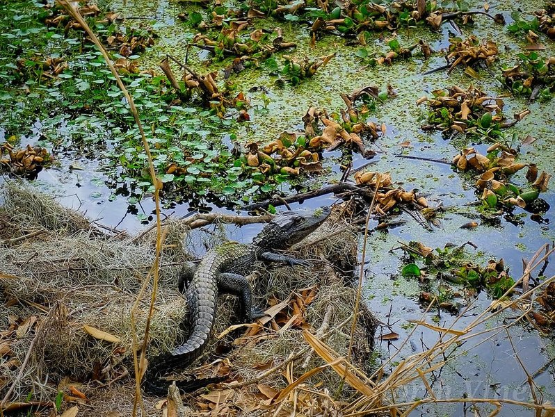 One of many small adolescent gators we seen on our visit.