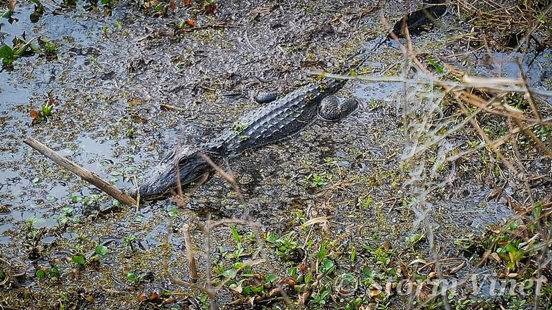 Another gator just laying around. This one was a decent size compared to most we've seen.