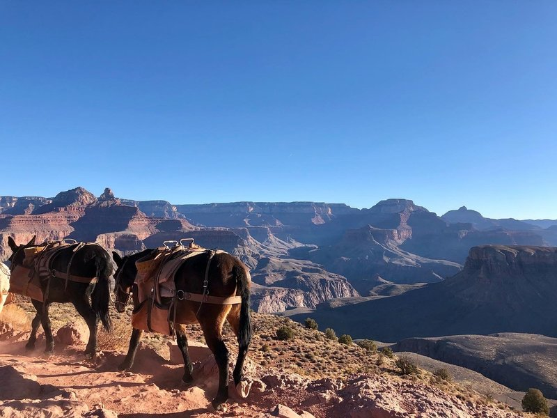 Mules passing by on the South Kaibab Trail.